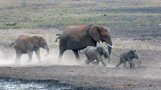 Baby Elephants Racing In Mud