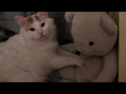 Fats the Turkish Van Cat makes biscuits on Wilson the stuffed animal Polar Bear