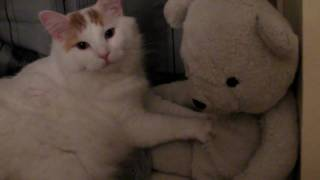 Fats the Turkish Van Cat makes biscuits on Wilson the stuffed animal Polar Bear