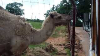 Dromedary Camel At The Wild Animal Safari Park In Pine Mountain Georgia