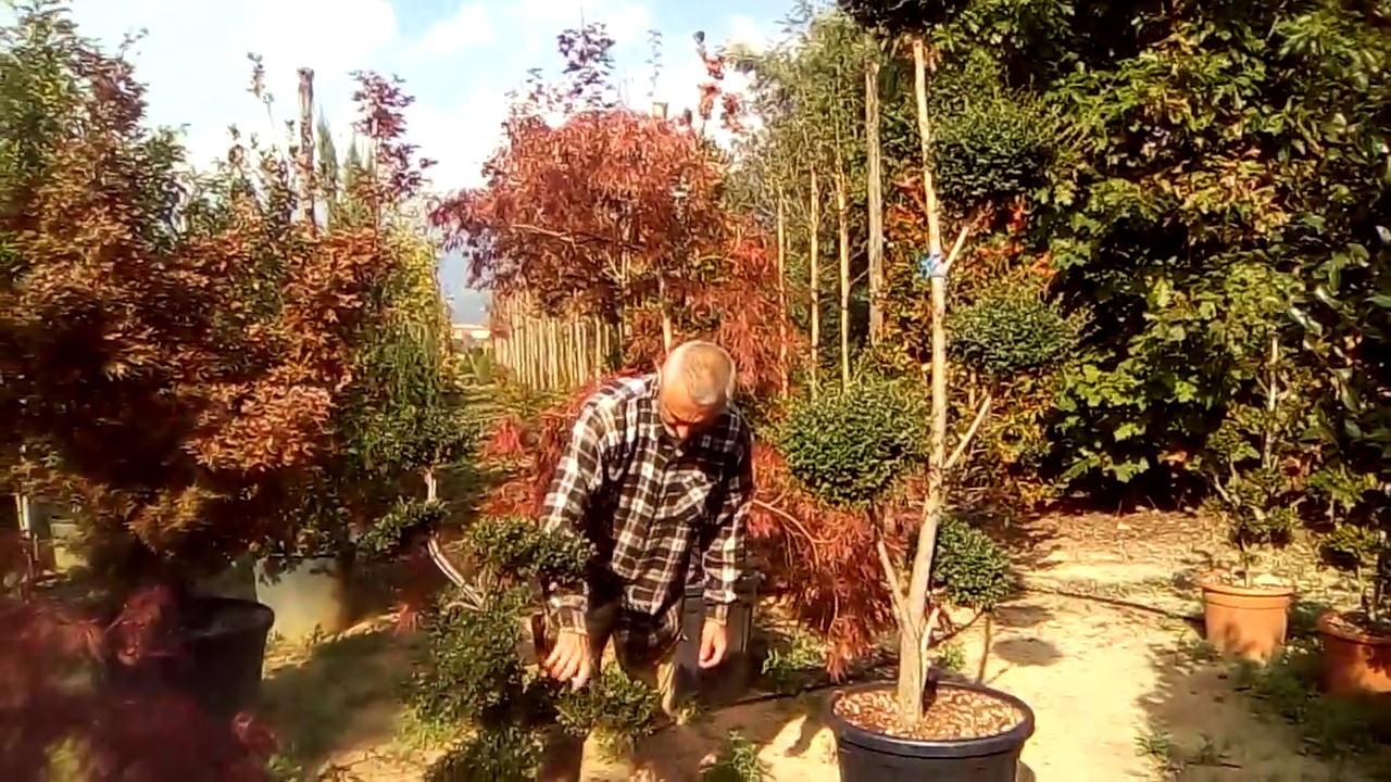 Pruning Ilex Crenata Bonsai