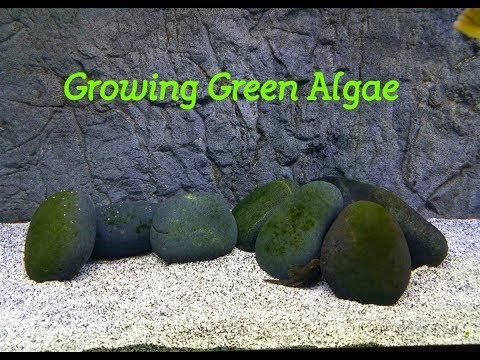 How To Grow Green Algae in Your Aquarium (if you want it)