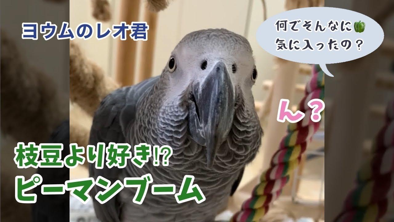 【ヨウムのレオ君】枝豆より好き?ピーマンブーム