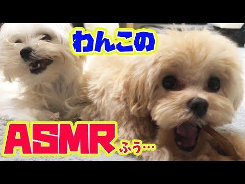 わんこのASMRふう…犬がカミカミしているだけの動画(生活音あり)【しほりみチャンネル】