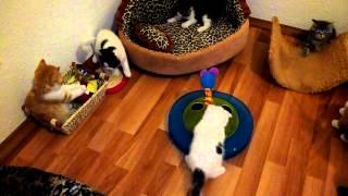 Шотландские котята питомник FOLDBERRY