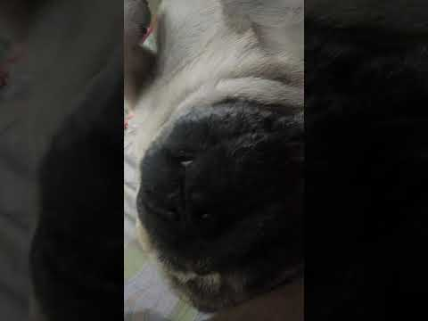 Как храпят мопсы/моя собака/ приколюха