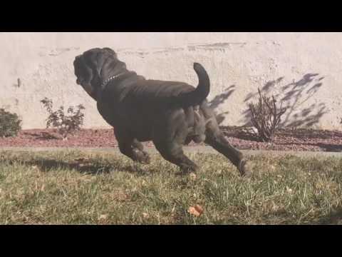 Neapolitan Mastiff Mega Running a Muck