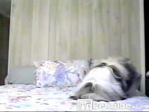 Dog Jumps in Bed Head First- PetTube - YouTube