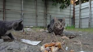打猫 Драка котов🐈Рысь-кот бьёт котят 大野猫击败小猫 Big wild cat beats kittens 싸우는 고양이  大きな野生の猫が子猫を打つ