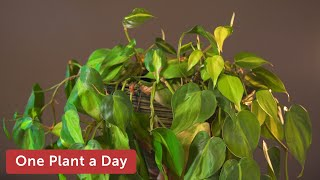 Philodendron hederaceum 'Brasil' Houseplant Care — 28 of 365