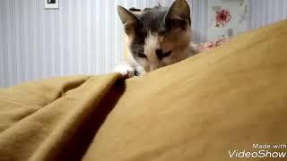 Котёнок моется.Трехцветная кошка #7