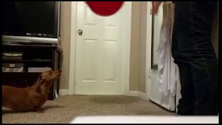 Smart Dachshund Uses Her Nose To Throw The Balloon