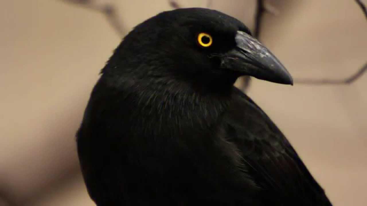 Звуки Природы. Пение птиц - Ворон - Голоса птиц.