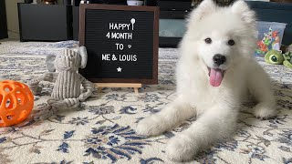 Transformation of a Samoyed Puppy 8 weeks to 4months #samoyed #puppy #cute