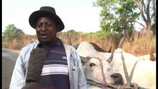 Société/ Bouaké : la maltraitance des bœufs altère le goût de la viande