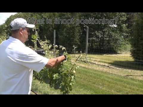 Grapevine Canopy Management