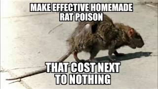 Effective homemade rat poison that cost next to nothing