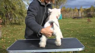 West Highland White Terrier From Mechta Nataly Kennel