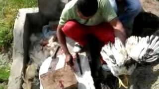cutting murga in farm