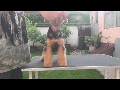 Lakeland Terrier Ideal Dale
