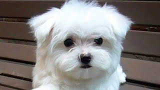 Top Quality Maltese pups Available Contact For More Information 8700131061,8377883466