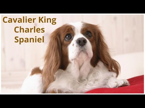 Cavalier Kings Charles Spaniel   Pets   Dog Breeds   Dogs Profile