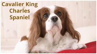 Cavalier Kings Charles Spaniel Dog