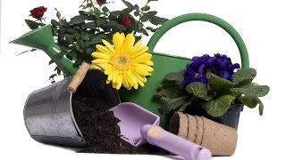 Как посадить гладиолусы (часть 2)