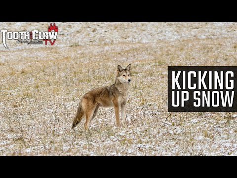 Kicking Up Snow – Coyote Hunting