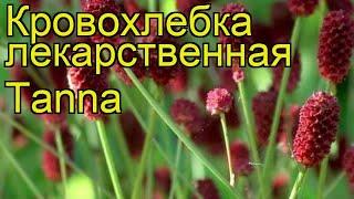 видео Кровохлебка лекарственная Sanguisorba officinalis