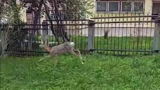 Проскакал по городу олень