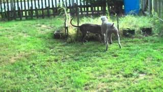 Weimaraner And Great Dane Puppy Play