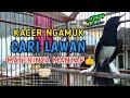 Kacer Gacor Ngamuk Nyari Lawan Materi Jos Mantap  Mp3 - Mp4 Download