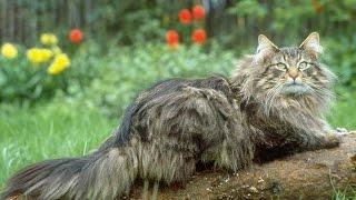 норвежская лесная кошка описание породы содержание и уход