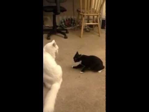 Manx Syndrome Cat Playing
