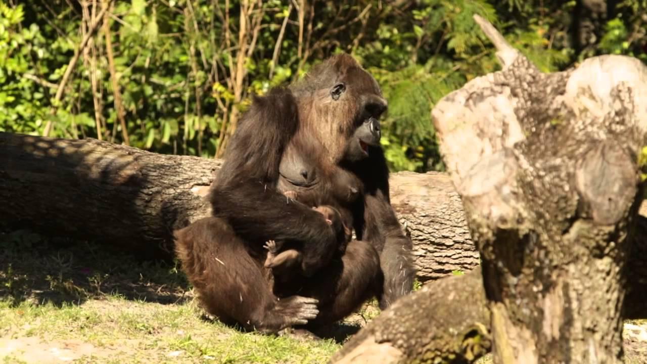First Look at the NEWEST Baby Gorilla | Busch Gardens Tampa FL - YouTube