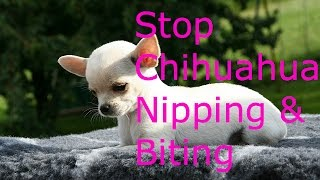 How To Stop Your Chihuahua From Nipping And Biting