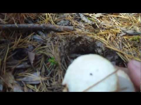 Вопрос: Если гриб вырвать с корнем, повредится ли грибница?
