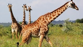Wild Tanzania discovery Animals channel ► National Geographic documentary ► Animal planet HD