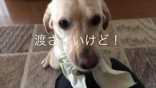 我が家の愛犬ラブラドールのはるちゃんがママと一緒にボールや雑巾で遊...