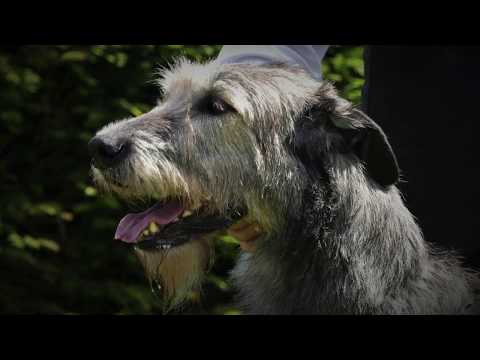 Irish Wolfhound Club of Ireland - Championship Show 2019