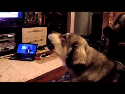 Carpathian Sheperd Dog singing / Caine care canta pe Dona Dumitru Simionica-Cine are fata mare