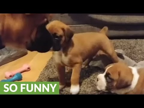 Grouchy dog breaks up harmless puppy fight