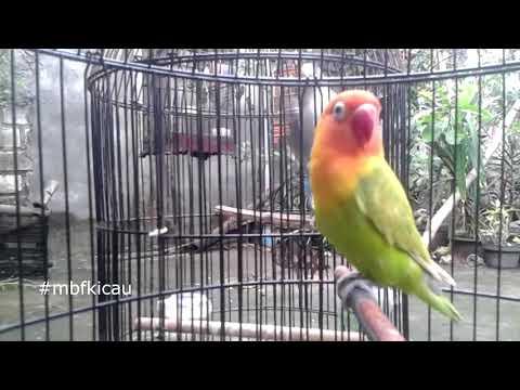 TARUNG!! Melatih Mental LOVEBIRD dengan TARUNG KEKEAN, Lovebird Bisu langsung NYAUT, Apalagi PAUD Ba