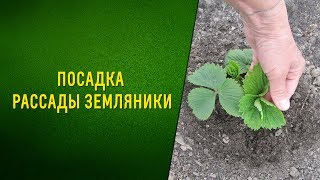 видео Как сажать рассаду земляники