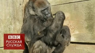 Детеныш гориллы обнимается с приемной мамой