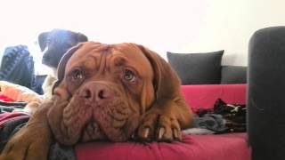 Dog Kiss Me - Dogue De Bordeaux - Marley