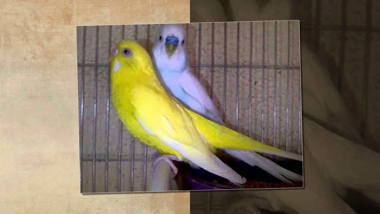 اجمل طيور الحب الهولندي الجزء 17 The Most Beautiful Dutch Love Birds عالم الحيوان Youtube