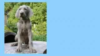 How To Train Weimaraner Vorstehhund