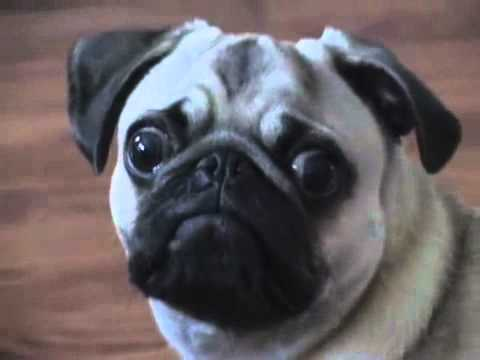 YouTube        - Dramatic Pug.mp4